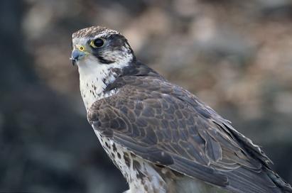 Falco_cherrug_(Marek_Szczepanek)