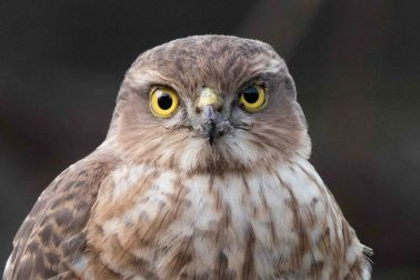 Sparrow hawk portrait - Longcroft