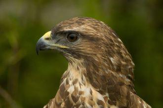 Buteo_buteo_-Hamerton_Zoo,_Cambridgeshire,_England_-head-8a