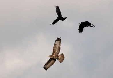Buzzard and Carrion Crows, Bough Beech