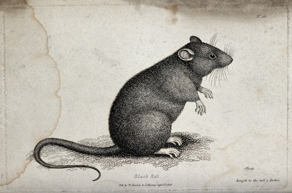 V0020711 A black rat sitting upright on the ground. Etching by W. S.