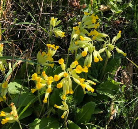 Cowslips2